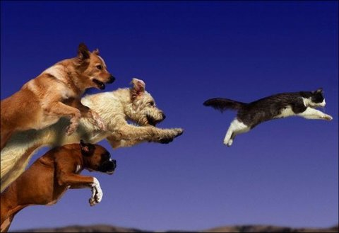 dogs-chase-cat