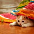 cat γάτα κατοικίδιο κουβέρτα