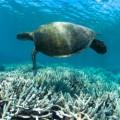 Μια πράσινη θαλάσσια χελώνα (Chelonia mydas) κολυμπα επάνω από αποχρωματισμένα κοράλλια εξαιτίας της ανθρωπογενούς παγκόσμιας θέρμανσης
